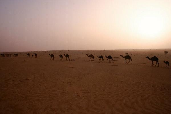 Traveling-camel-caravan